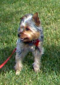 Lily Says, Yorkie, yorkshire, real estate, dog friendly